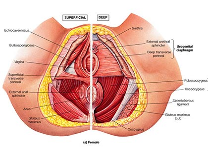 pelvic floor reconstruction